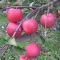 【家庭用】白子苹果研究会の林檎 【サンふじ】 約5kg
