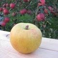 白子苹果研究会の林檎 【サン金星】 約5kg