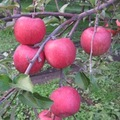 白子苹果研究会の林檎 【サンふじ】約5kg