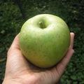 白子苹果研究会の林檎詰合せ【サン王林・サンふじ】約10kg