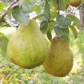 岡田 廣さんの洋梨2種詰合せ(シルバーベル&ラ・フランス) 約3kg(各2~5玉)