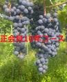 武蔵ワイナリー正会員10年コース1口 (複数口お申込み可能、2口以上で毎年送料無料でワインをお送りします。)
