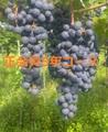 武蔵ワイナリー正会員5年コース1口 (複数口お申込み可能、2口以上で毎年送料無料でワインをお送りします。)