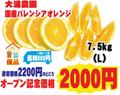 【大浦農園】≪優品≫国産バレンシアオレンジ7.5kg(L)