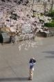 桜3(横浜市山手)