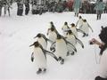 旭山動物園 ペンギンの散歩(東旭川)
