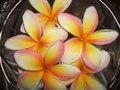 プルメリア鉢植え chantramas