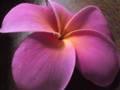 プルメリア発根枝苗(plastic pink)送料無料