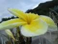 プルメリア苗(Celadaine)