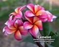 【本年初リリース】ペナンピーチ交配の新品種 プルメリア Camelot カット苗【2月25日締め切り】