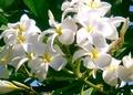 うっとりハワイの思い出☆プルメリアのスプレー