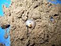 パラワンオオヒラタ 菌糸プリンカップ120CC入り初令幼虫5頭セット