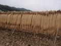 信州佐久のコシヒカリ 長寿米