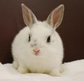 ミニウサギ(チンチラブロークン?)/女の子