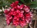【3月中旬頃より発送】驚異的な花付き! プルメリアのベアルート発根苗 'Dwarf Watermelon' aka Puang Roi (100 Flowers) 栽培セット(スリット鉢・プルメリア専用培養土つき)【完売】
