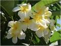 プルメリアのベアルート発根苗 'Celadine' 栽培セット(スリット鉢・プルメリア専用培養土つき・Premium品種)