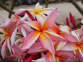 【3月中旬頃より発送】プルメリアのベアルート発根苗 'Rainbow Starburst' 栽培セット(巨大輪・スリット鉢・プルメリア専用培養土つき)