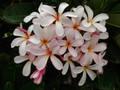 【3月中旬頃より発送】プルメリアのベアルート発根苗 'Dwarf Singapore Pink' 栽培セット(スリット鉢・プルメリア専用培養土つき・Premium品種)