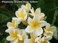 プルメリアのベアルート発根苗 'Dwarf Siam Yellow' 栽培セット(希少種・スリット鉢・プルメリア専用培養土つき・Premium品種)【3月上旬以降発送】