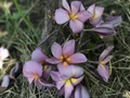 【7月中旬頃より発送・1本限定】クキアット博士が作出した幻のプルメリア 'Purple Serendipity' (カット苗)