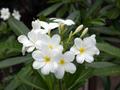 【鉢植え苗】希少種のプルメリア 'Hong Kong' 接ぎ木苗(越冬株)