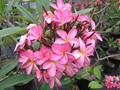 【WINTER SALE・30% OFF】1鉢限り・フルーティーな良い香りの花がブーケ咲きするフロリダ品種のプルメリア 'Maile' 鉢植え苗木(15,000円→10,500円・20% OFF)