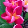 【1鉢限定】激レア芳香種! 幻のバリ島生まれのプルメリア 'Red Jamaica' 接木苗 4号スリット鉢