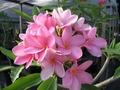 【3月中旬頃より発送】プルメリアのベアルート発根苗 'Pretty in Pink' 栽培セット(米国の名花・スリット鉢・プルメリア専用培養土つき・Premium品種)