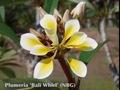 珍しい八重咲きプルメリアのベアルート発根苗 'Bali Whirl' 栽培セット(スリット鉢・プルメリア専用培養土つき・Premium品種)【3月上旬以降発送】