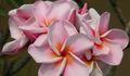 【3月末より発送】ピンク系の大輪種!プルメリアのベアルート発根苗 'Orathai Pink' 栽培セット(希少種・スリット鉢・プルメリア専用培養土つき)