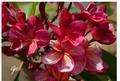 【1鉢限定】クキアット博士育成品種・安定的にスプラッシュが入る花は必見! 世界的に入手困難なキメラ品種のプルメリア 'Fantasia' (接ぎ木苗)【7月中旬以降に発送】