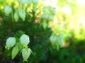フラワーエッセンス 青の栂桜(アオノツガザクラ)