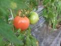 大玉トマト2kg