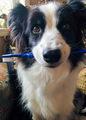 歯磨き大好き犬の極上柔らか歯ブラシ(コンパクト)