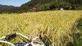 自然栽培(農薬・肥料不使用)天日干しもち米(白毛モチ)玄米1㎏
