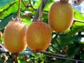 キウイフルーツ 20個/岐阜県産/2020年産栽培期間中、化学農薬不使用・化学肥料不使用