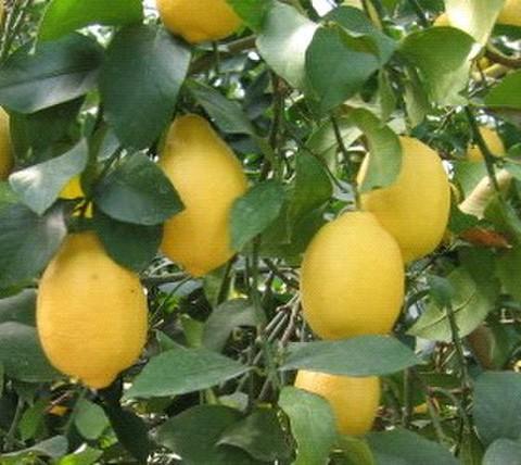 岩城レモン 1kg