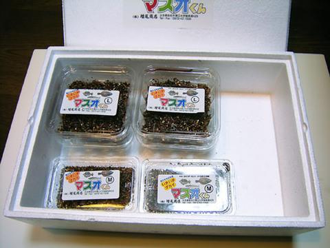 いきいきゴカイ マスオくん(6000円セット)[M004]