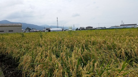 乳酸菌育ち無農薬玄米5kg