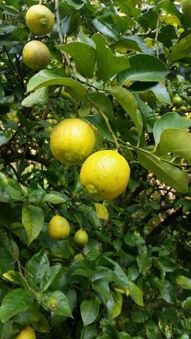 澤田農園の無農薬レモン(1kg)