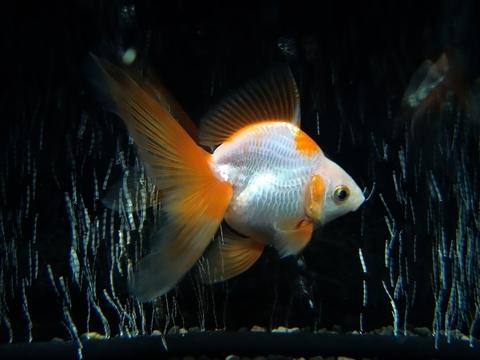 1.純国産魚の自家産! 更紗(天然六鱗柄)琉金(弐歳魚)