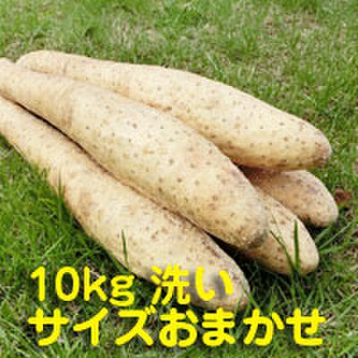 砂丘ナガイモ10kg【贈答用】 洗い サイズおまかせ