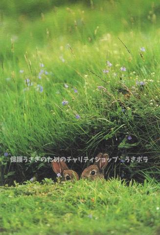 ポストカード【I】~村川荘兵衛~スコットランドのうさぎ
